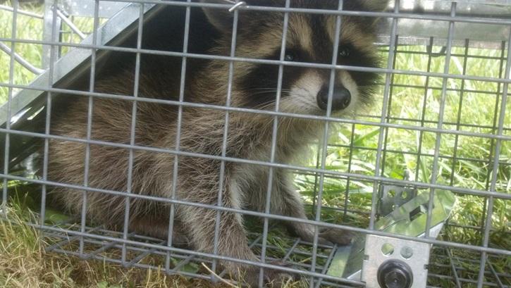 Kat's Korner 097: Raccoon watch